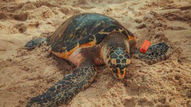 Photo of MinAmbiente y Parques Nacionales Naturales lideran plan para recibir a las tortugas en su temporada de anidamiento y desove